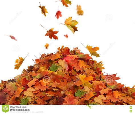 Pile Of Autumn Colored Leaves Isolated On White Background Stock Image Image 79198823 Fall Leaves On White Background