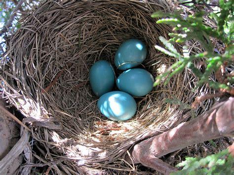 robin nest redux 187 powered by birds