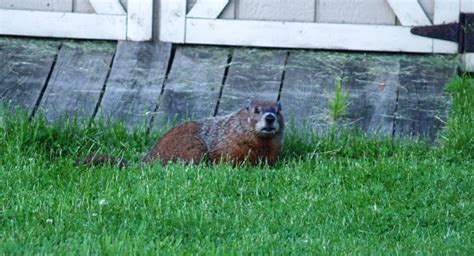 Get Rid Of Groundhogs Shed by Woodchucks