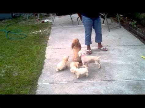 puppies for sale in dothan al poodle puppies dogs for sale in norfolk county virginia va 19breeders