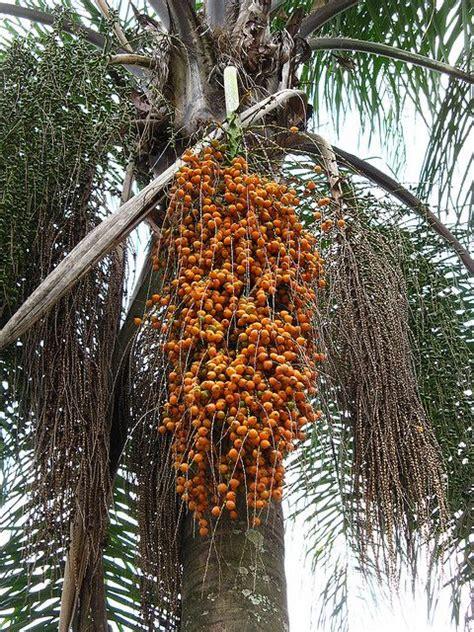 palm tree orange fruit 97 best images about brasil on natal