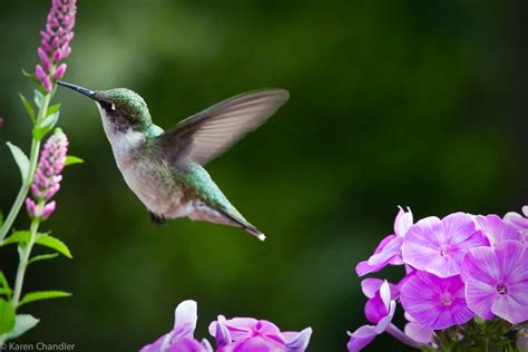 ruby throated hummingbird visioning