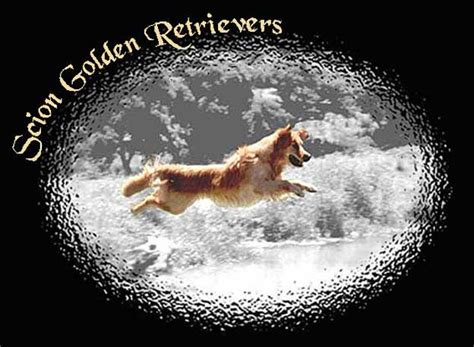 scion golden retrievers scion golden retrievers golden retriever breeder