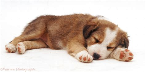 Dog: Border Collie pup, 5 weeks old, sleeping photo WP19819