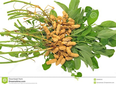 Groundnut Plant Stock Photography   Image: 20996042