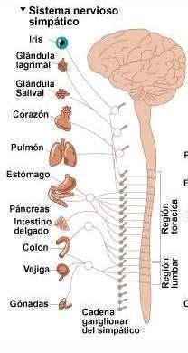 cadena ganglionar simpatica cervical sistema nervioso simp 225 tico ecured