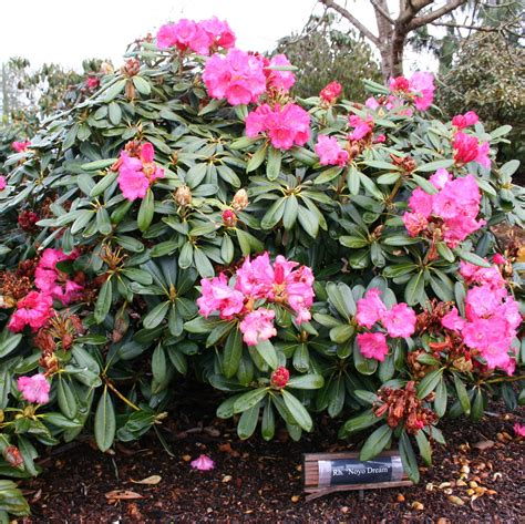 bulletproof rhododendrons rhodies for sea coast wind and