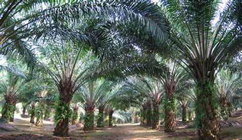 Minyak Kelapa Sawit Curah pukulan ganda bagi penghasil minyak sawit