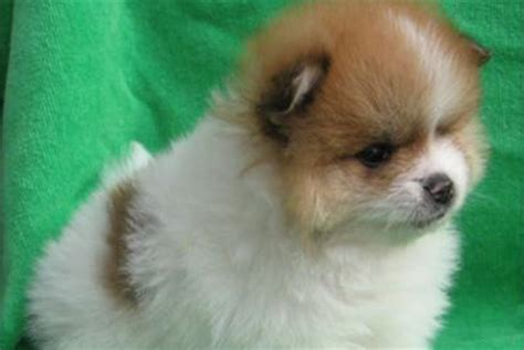 haired pomeranian puppies for sale westchester puppies pomeranian puppies westchester