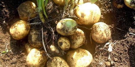 terbaik budidaya tanaman kentang