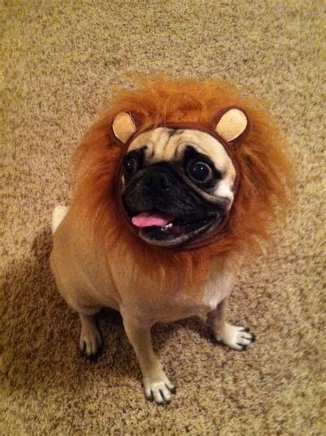 history of pugs and lions a pug mane on yogi so stinkin pug board