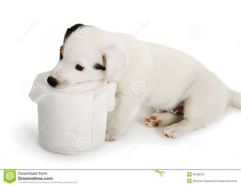 puppy toilet paper puppy with toilet paper royalty free stock photography image 35189167