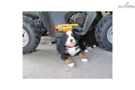 bernese mountain breeders ma bernese mountain puppy for sale near south coast massachusetts 9da5e6c1 79d1