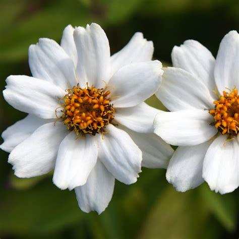 Zahara White marylandzinnia zahara xl white ett 229 riga blomsterv 228 xter