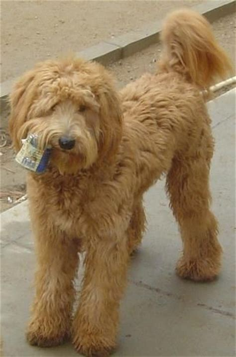goldendoodle puppy breathing fast australian labradoodle awesome and labradoodles on