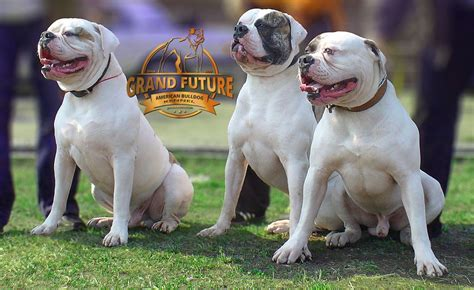 bulldog puppies maine american bulldog breeders maine breed dogs spinningpetsyarn