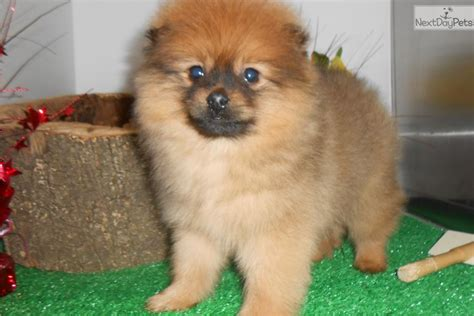 pomeranian puppies illinois pomeranian puppy for sale near chicago illinois 1ec33744 00d1