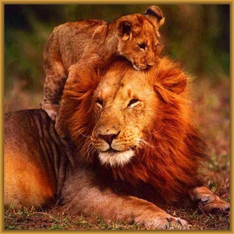 imagenes de leones con sus cachorros imagenes de leones cachorros tiernos imagenes de leones
