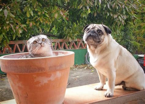 cat pug cat and pug pals travel across spain with cats