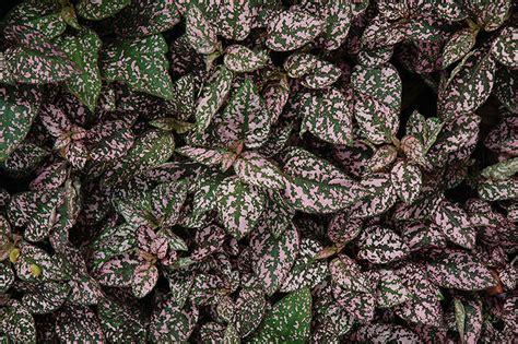 splash select pink polka dot plant hypoestes - Pink Foliage Plants