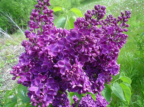 purple lilacs purple lilac spring pinterest purple lilac prunus