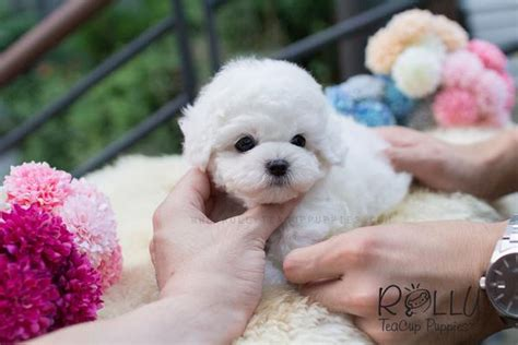 bichon frise puppies for sale near me bailey bichon rolly teacup puppies