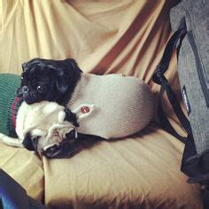 cuddle pugs 1000 images about pugs for linus on pug a pug and pug
