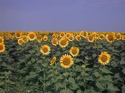 sunflowers in kansas ellsworth ks kansas sunflowers photo picture image