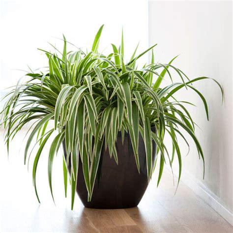 chlorophytum laxum zebra grass indoor house plants