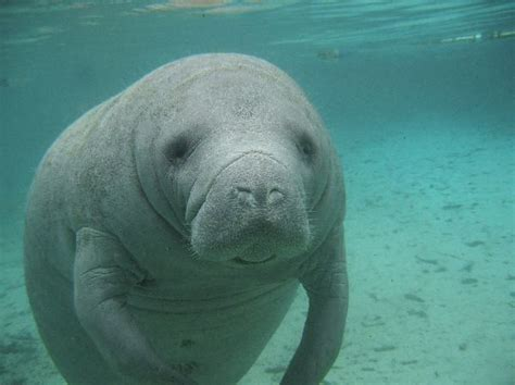 comforting manatee manatee habitat animal facts and information
