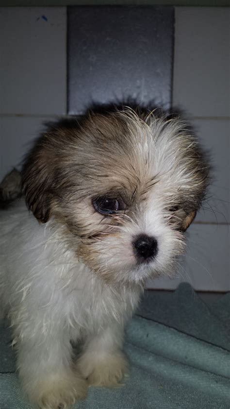 lhasa apso puppies for adoption lhasa apso puppies for sale birmingham west midlands pets4homes