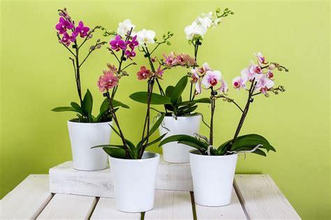 far fiorire orchidee vuoi far fiorire le tue orchidee usa questo infuso