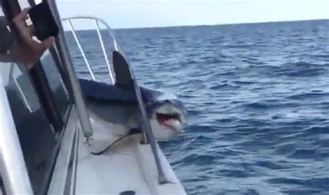 great white shark jumps in boat horrifying footage shows moment a shark jumps onboard a