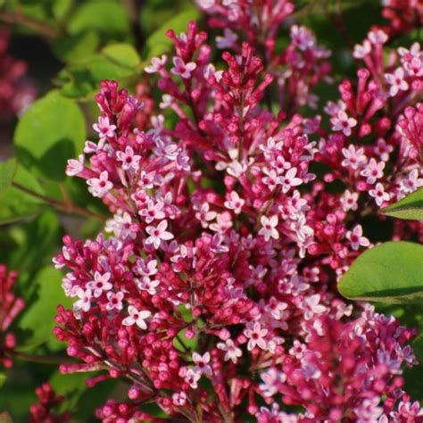 lilac flowering shrubs small lilac set flowering in pink shades lilacs