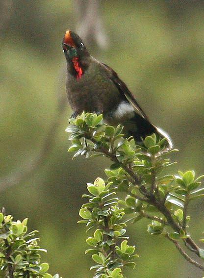 rainbow bearded thornbill wikipedia