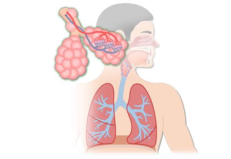 images of the respiratory system respiratory system anatomy major zones divisions