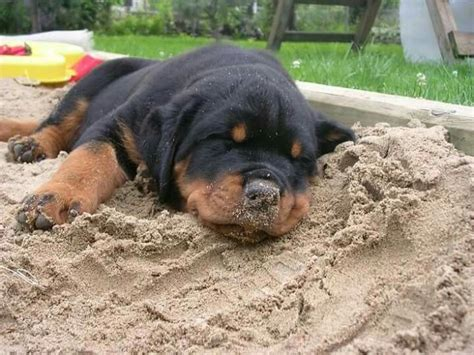 puppy rottweiler tips 19 best dogs tips and tricks images on owners animals and lifehacks