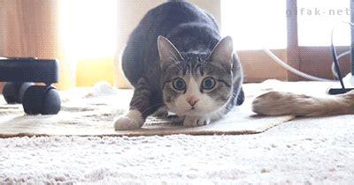 Dat Ass Cat Meme - dat cat butt wiggle gif meme collection