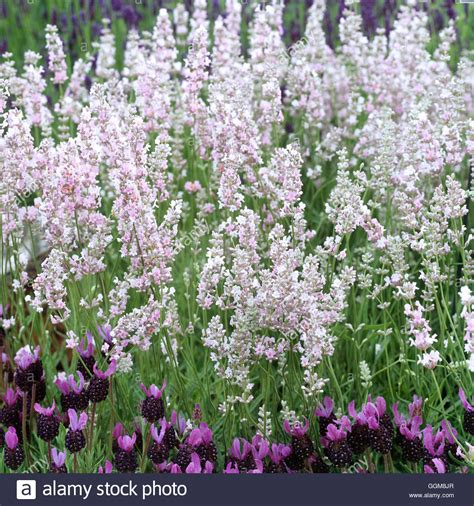 Lavender Pink list of synonyms and antonyms of the word lavender