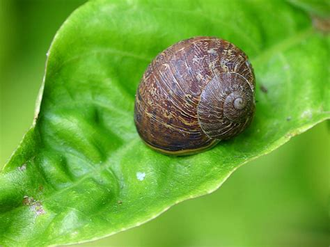 backyard snails file garden snails jpg wikimedia commons