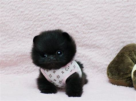 miniature teddy pomeranian puppies black cuteness fluffball fluffy fuzzy pom teacup puppies teddy
