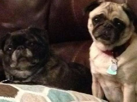 buffalo pugs buffalo pug small breed rescue inc petunia s page