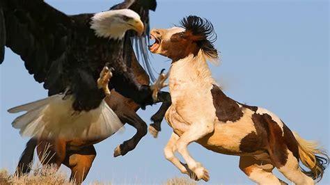 imagenes de leones vs aguilas aguila vs caballo aguilas cazando las aguilas mas grandes