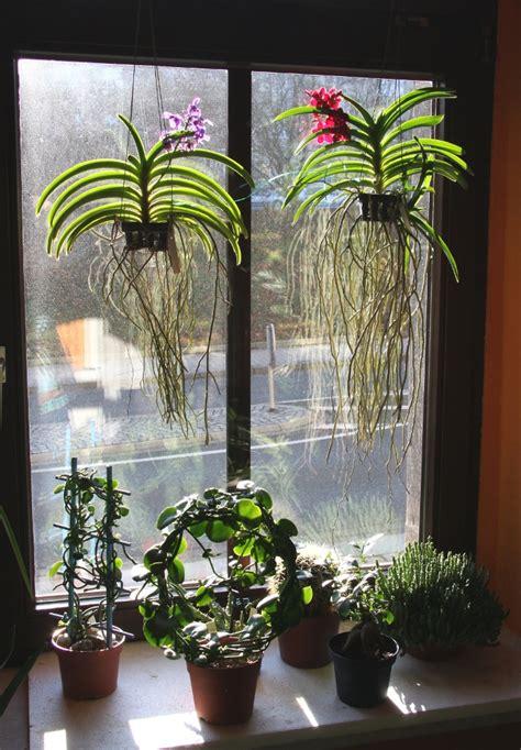 vanda orchideen wild cherry und thai sky majas
