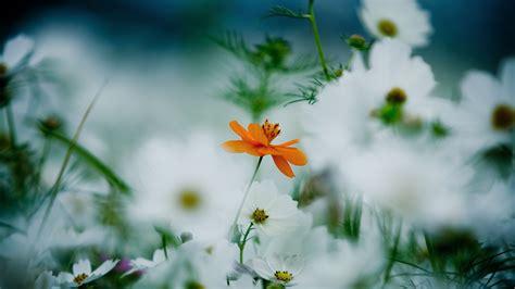 wallpaper flowers  hd wallpaper  daisies cosmos flower white orange nature
