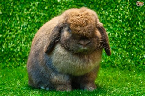 house rabbit best house rabbit breeds on the planet pets4homes