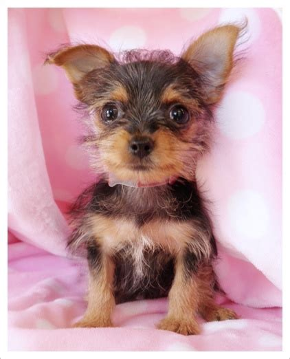 chorkie haircut styles chorkie haircuts chorkie cuts hairstylegalleries com