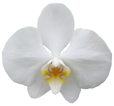White image gallery white orchid