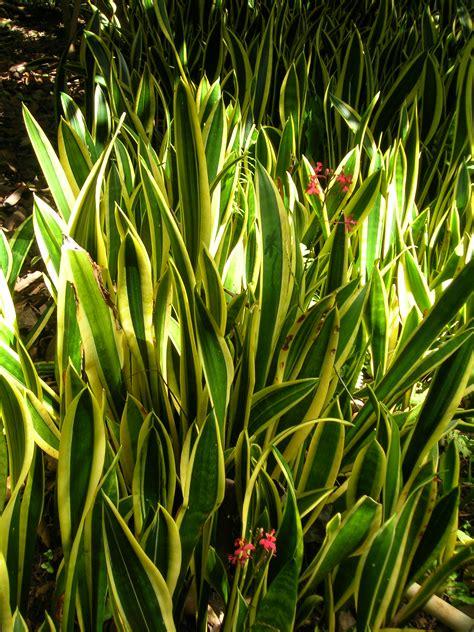 sansevieria trifasciata file starr 071024 8807 sansevieria trifasciata jpg