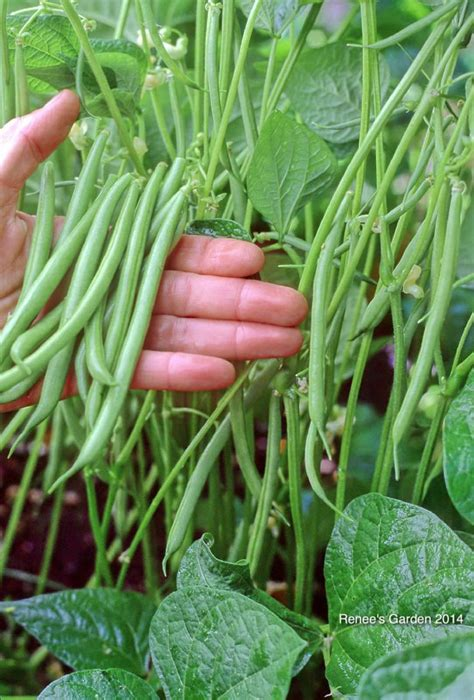 rolande edible garden growing green beans veg garden